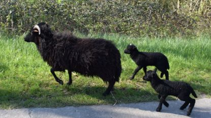 Trager rijden in Braakmanstraat Boekhoute: schaapjes grazen op de dijken