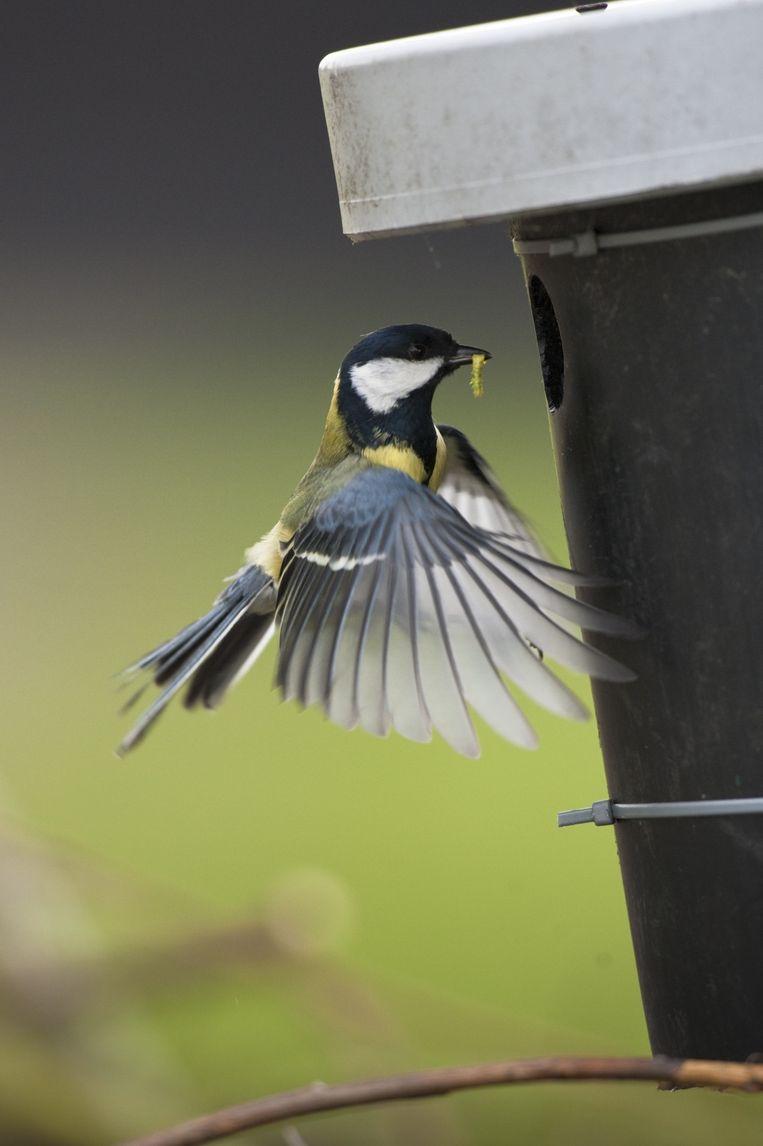 Een koolmees brengt een wormpje naar een nestkast. Beeld  KINA