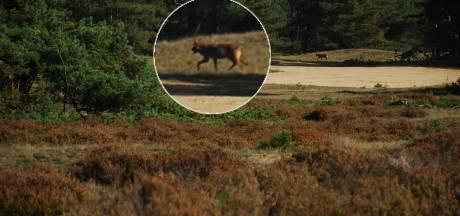 Bekijk de kaart: dit is het leefgebied van wolven op de Veluwe