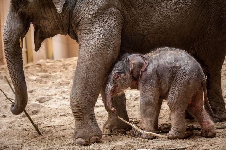 Het pasgeboren jong weegt nu al 100 kilogram.
