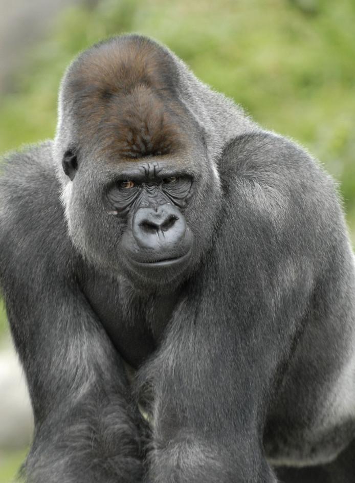 Ook gorilla Bokito is in Blijdorp te bewonderen.