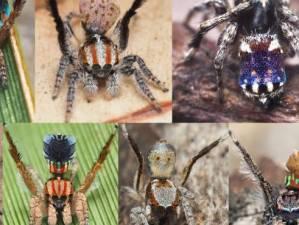 Un groupe de nouvelles araignées découvert en Australie