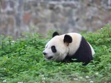 SGP wil een parkeerdek voor bezoek aan panda's in Rhenen