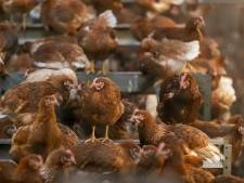 Pluimveehouders uit Gelderse Vallei blij met ophokplicht: 'Uitbraak vogelgriep moeten we voorkomen'