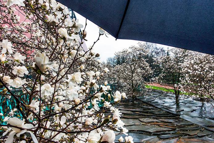 Magnolia's in bloei.