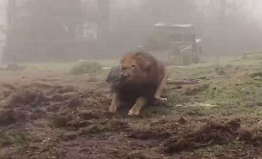 In Dartmoor Zoo wordt de leeuw uitgedaagd voor een spelletje touwtrekken.