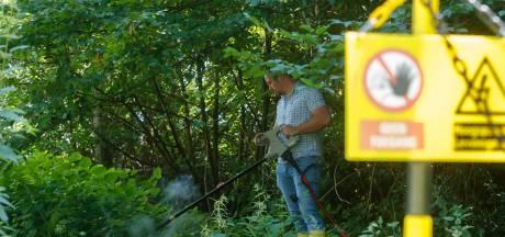 Het knettert, sist, en rookt en dan is ie dood: hoe de Japanse duizendknoop via elektrocutie het loodje legt