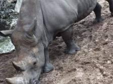 Franse neushoorn Noëlle bekrast met twee namen: 'Ronduit walgelijk misdrijf'