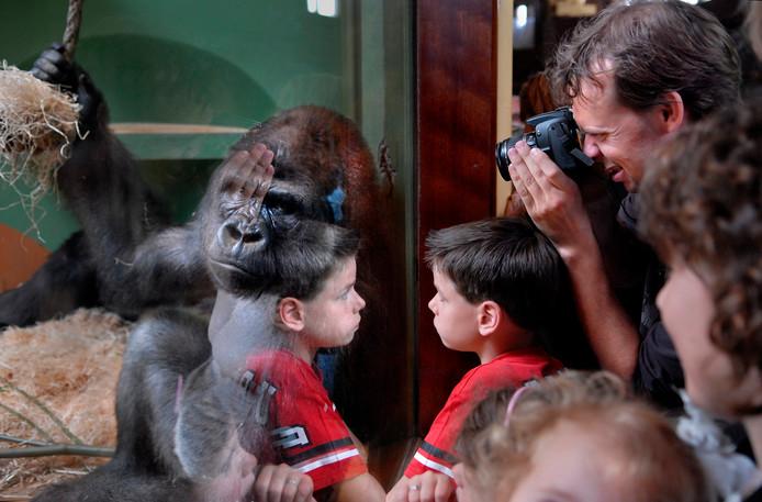 Gorilla Bokito zit daags na zijn ontsnapping in zijn binnenverblijf en trekt veel bekijks.
