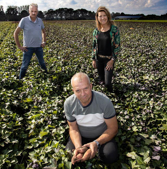 Pieter (midden) en Maria Verschure tussen hun bataatplanten. Linksachter adviseur Erik van Gerwen.