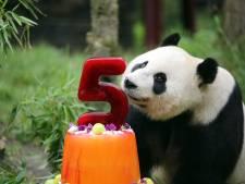 Panda's in Rhenen vieren hun verjaardag met ijstaart