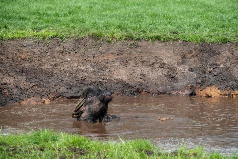 Een van de waterbuffels gaat bijna helemaal kopje onder.