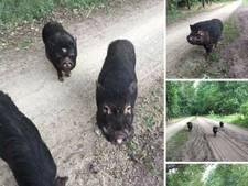 Eerste van drie gedumpte hangbuikzwijntjes gevangen