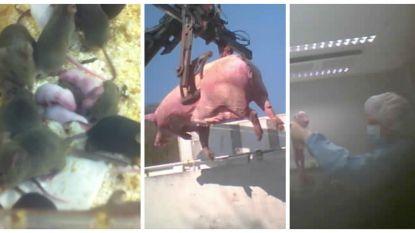 """Gaia filmt undercover hoe proefdieren bij VUB mishandeld worden: """"Systeem is compleet rot, we willen grondige opkuisbeurt"""""""