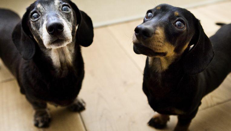 Twee gekloonde puppy's in een kennel van Sooam Biotech in Seoul. Beeld null