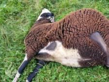 Schapenhouder doodgebeten schapen geschokt: 'een levensgevaarlijke hond'