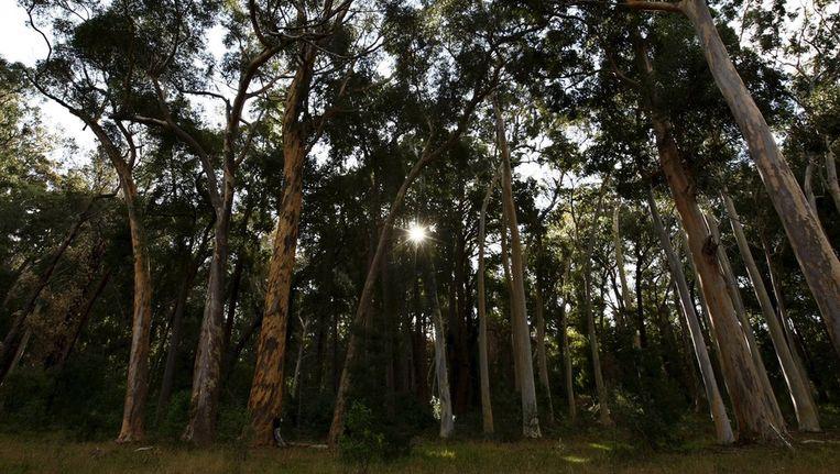 Eucalyptusbomen onttrekken goud uit ondergrondse lagen Beeld epa