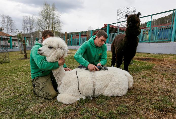 Medewerkers van de Russische dierentuin in Krasnoyarsk scheren een vrouwtjes alpaca. Foto Ilya Naymushin