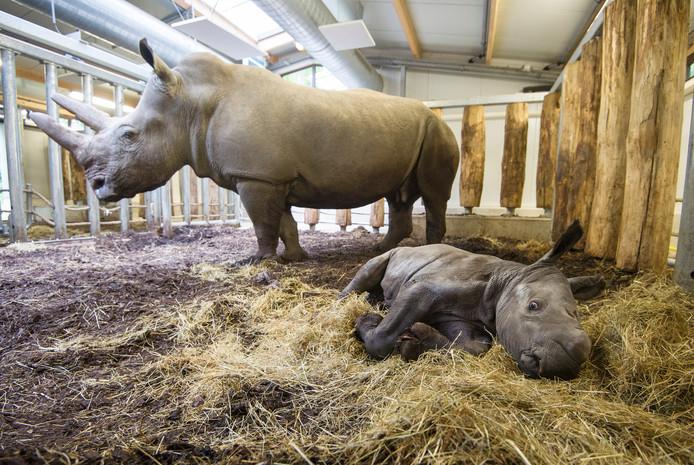 Neushoorn Thomas en moeder Kwanzaa in Burgers' Zoo in Arnhem.
