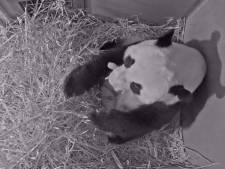 Uniek! Pandababy geboren in Ouwehands Dierenpark in Rhenen