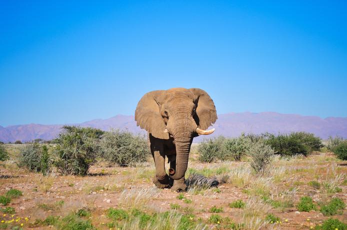De olifant heeft de naam Voortrekker gekregen, omdat hij als een pionier in de jaren tachtig door de woestijnen van Namibië trok naar het gebied rond de meestal droogstaande Ugab-rivier.