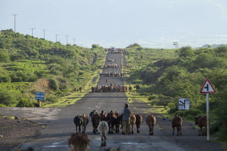 Herders brengen hun kuddes naar huis in de buurt van Gidole. Beeld null