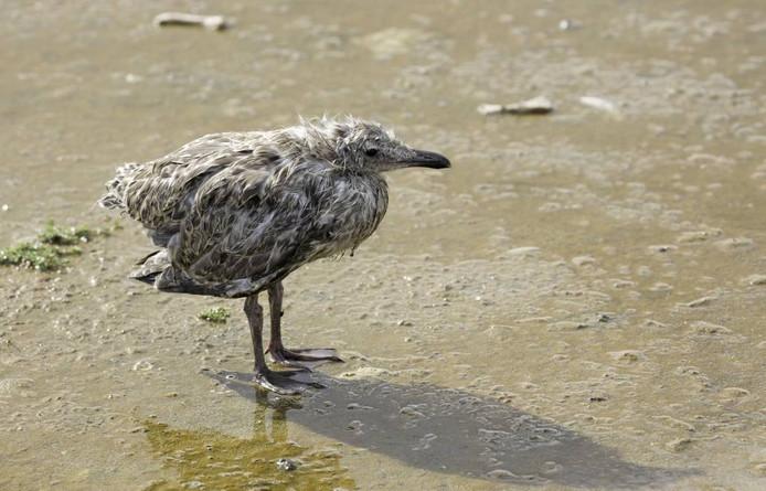 Op het natuureiland Spuitkop treffen we een eenzaam en verregend jong van een zilvermeeuw aan foto Riet Pijnappels