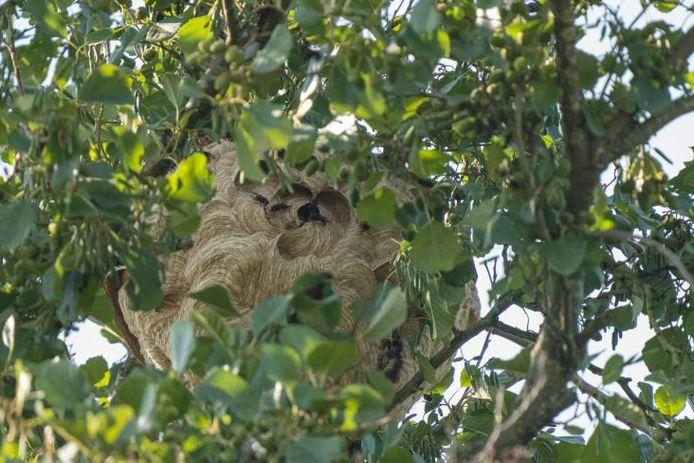 Het gevonden nest van de Aziatische hoornaar.