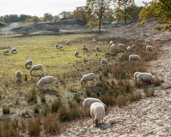 250 schapen zijn ingezet om de vogelkers in de Zeepeduinen bij Burgh-Haamstede onder de duim te houden.