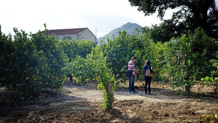 Spaanse media bij de citroenboomgaard in Alquerías. Beeld ANP