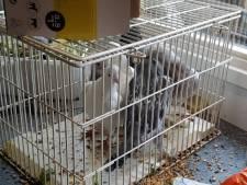 Gestolen parelhoenders en duiven terug bij eigenaar