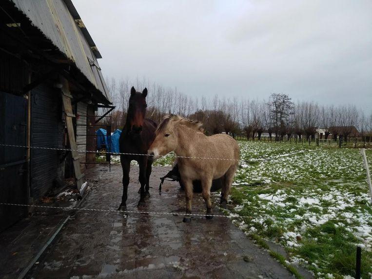 De twee paarden (hier voor het ongeval) waren uit hun weide gelopen.