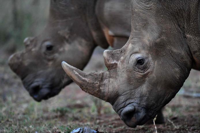 Twee neushoorns in Zuid-Afrika.