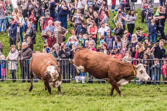 Koeiendans bij Hoeve Biesland