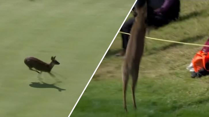 Hert rent in paniek over golfbaan en springt over toeschouwers