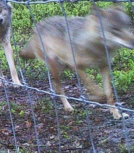 Dna bewijst dat wolf eind februari vijf schapen doodde in Emst; totaal aantal dode schapen in 2020 staat al op 75