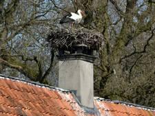 Ooievaars nestelen zich bovenop schoorsteen van havezate in Volthe