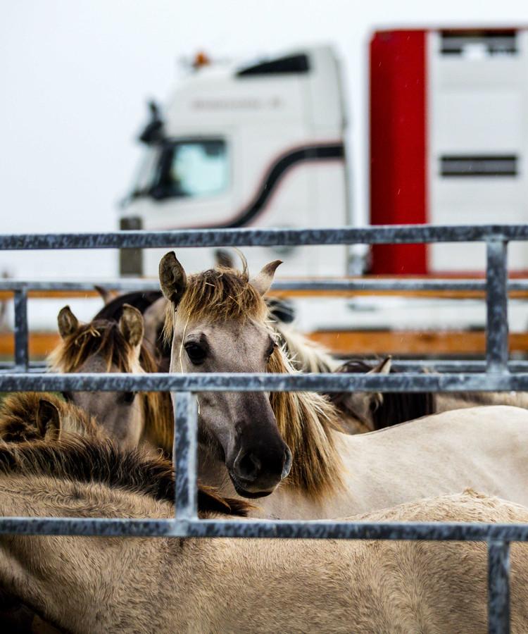 Konikpaarden vlak voor het transport naar Wit-Rusland.