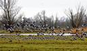 Een groep ganzen vliegt op in het natuurgebied Oostvaardersplassen bij Lelystad. Dit natuurpark is altijd bedoeld geweest als vogelreservaat