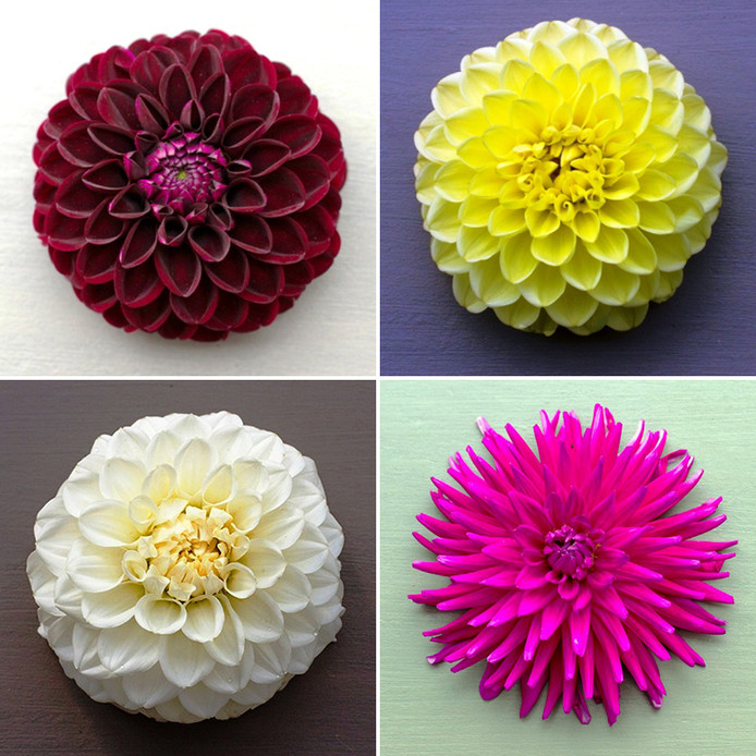 Met de klok mee: pompon, decoratief, bal en cactus