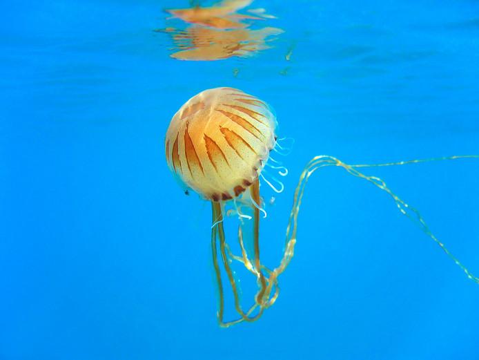 Une méduse rayonnée.