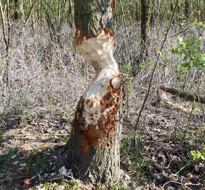 Bever verandert boom in een 'kunstwerk' in de Struikwaard.