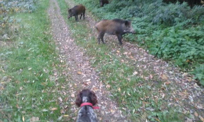 Hond Mecy van Jos Sanders is nieuwsgierig naar de zwijnen op het bospad.