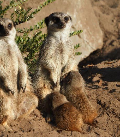 Alwéér babynieuws uit de Beekse Bergen: drie stokstaartjes geboren