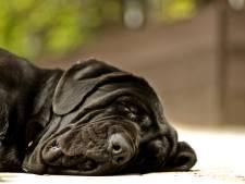 Hondenfokster uit Opijnen wil doorgaan met kennel en krijgt uitstel van rechter