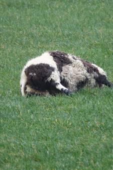 Nog zes schapen dood na eerdere aanval in Beerzerveld, experts denken aan wolf