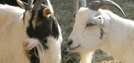 'Landerd paste niet de juiste regels toe': bouw geitenstal in Schaijk mag