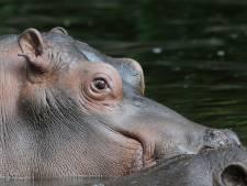 Enige genderneutrale nijlpaard ter wereld overleden in dierenpark Wildlands Emmen