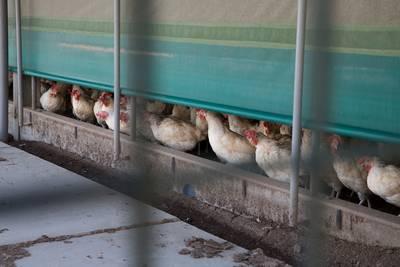Kan ik nog eieren eten? 5 vragen over Fipronil
