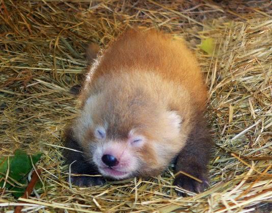 Rode panda geboren in de Beekse Bergen.
